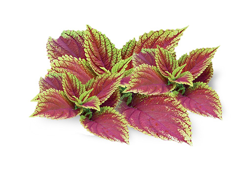 WHY FORSKOLIN IS GOOD FOR HEALTH. Click to Read